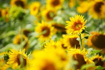 Sonenblumen | Sonnenblumenfeld