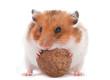 Hamster eating wallnut