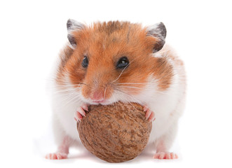 Hamster eating wallnut
