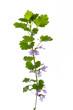 (Glechoma hederacea) Gundelrebe gerade vor weißem Hintergrund