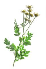 Mutterkraut (Tanacetum parthenium)
