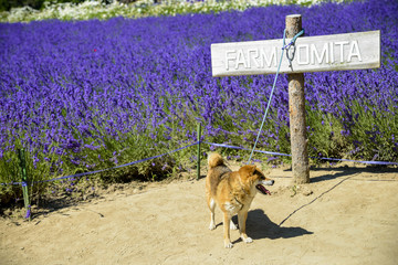 The dog and lavender field4