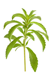 Stevia branch