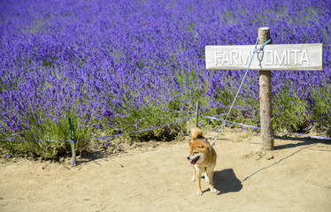 The dog and lavender field2