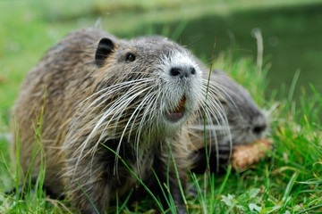 Junges Nutria. Biberratte.