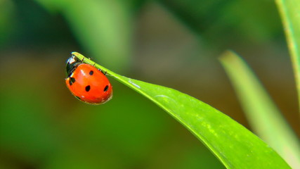 Red Ladybug (Coccinellidae) on green leaf