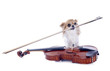 violin and chihuahua