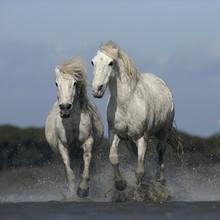 Camargue cheval blanc