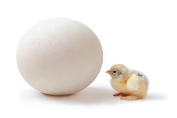 Chick and ostrich egg