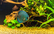 Aquarium with tropical fish of the Symphysodon discus spieces - 56327741
