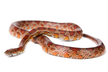 snake on a white background.