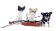 violin and chihuahuas