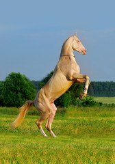 perlino akhal-teke horse rearing