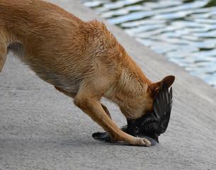 Охота животных. Собака напала на голубя. Легкая добыча