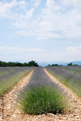 Lavender field landscape in Provence, France