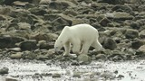 Curious Canadian Polar Bear walking along the shore of the Hudso