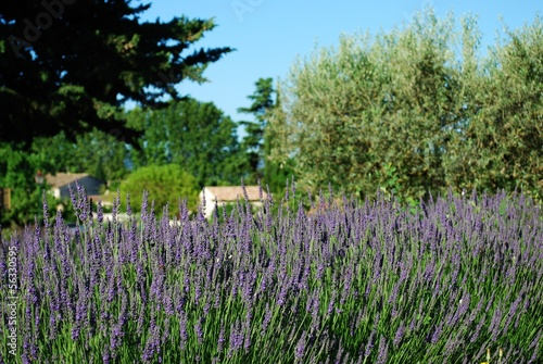 Lavender flowers blooming in summer, Provence, France
