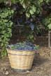 Cesto con uva tra i filari