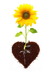 Sunflower isolated from seed with root in ground heart shape..