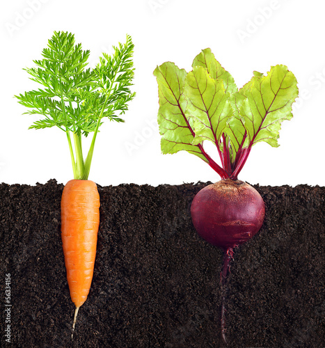 Carrot and beetroot with leaves in ground.