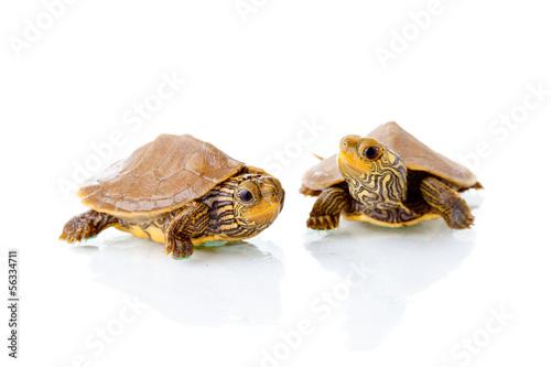 Fotobehang Schildpad Baby turtles