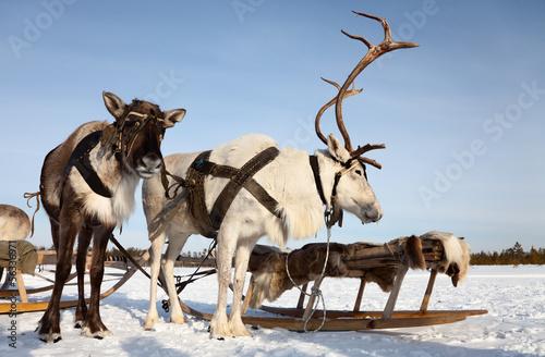 Papiers peints Pôle Reindeers in harness