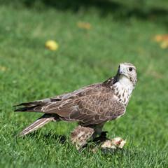 Saker falcon (Falco cherrug) portrait