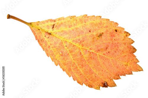 Sakura red leaf