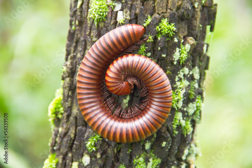 Big millipede in rain forest, Thailand