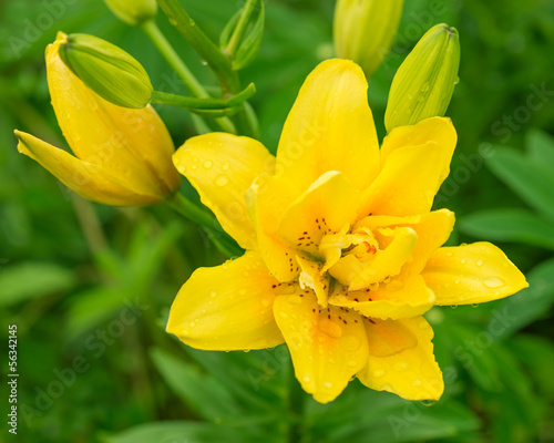 Yellow lily in nature