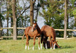 three young brown horse in corral