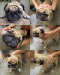Little pug taking a shower