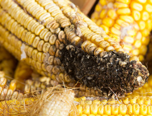 corn rot - disease on ear