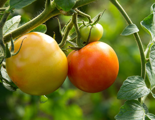 Ripening of tomato in garden