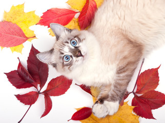 young blue-eyed cat lying in the leaves