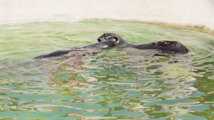 two black seals playing in water