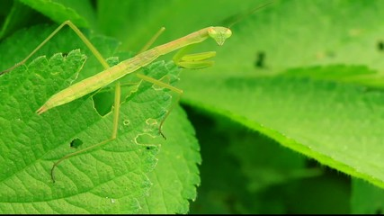 mantis perched on the leaves