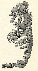 Cartilaginous skeleton of 17 mm long human embryo