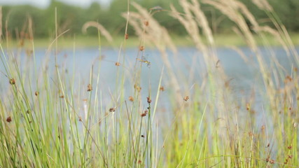 Dragonfly resting on reeds stem