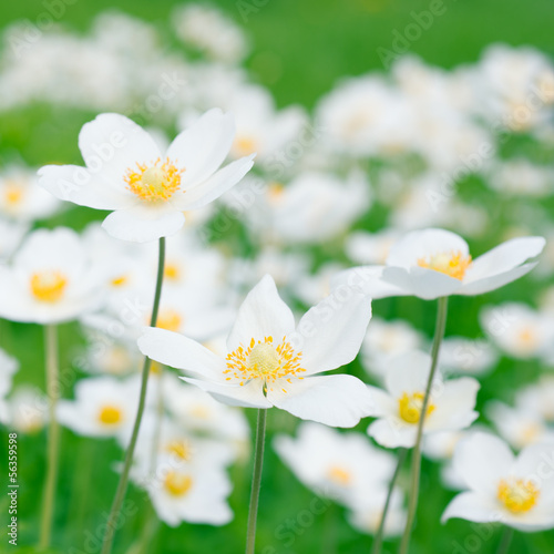 White anemones in nature