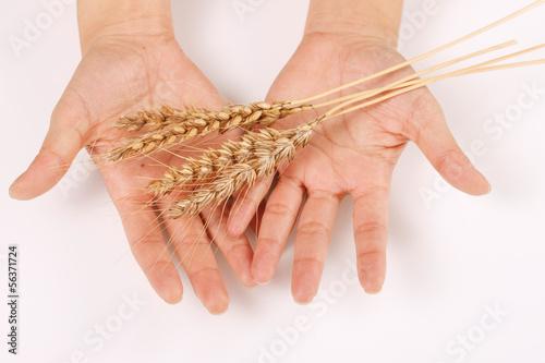 稲穂を持つ女性の手