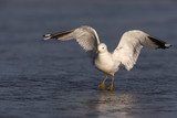Common gull, Larus canus,