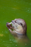 Otter eating the fish in the pool