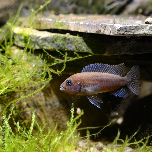 Foto op Plexiglas Indonesië Cichlid fish in aquarium