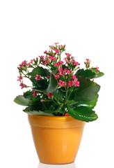 Pianta di Calancola fiorita in vaso