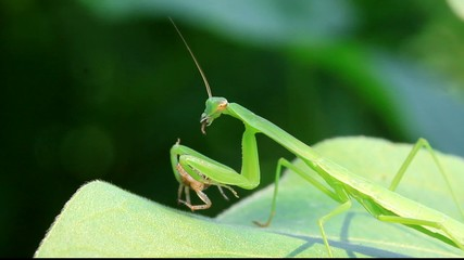 Mantis eat spiders on the leaves