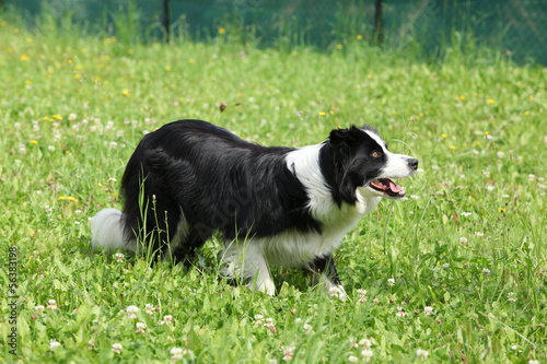 Border collie in the garden