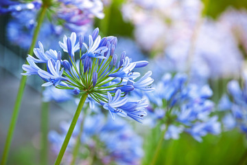 Macro photo of bright blue Agapanthus flowers
