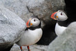 Two Puffins in the Rocks