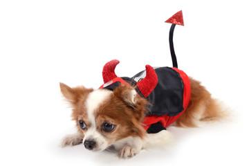 Devil chiwawa 3